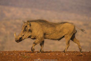 Warthog (Phacochoerus africanus) walking, Zimanga private game reserve, KwaZulu-Natal, South Africa, September.
