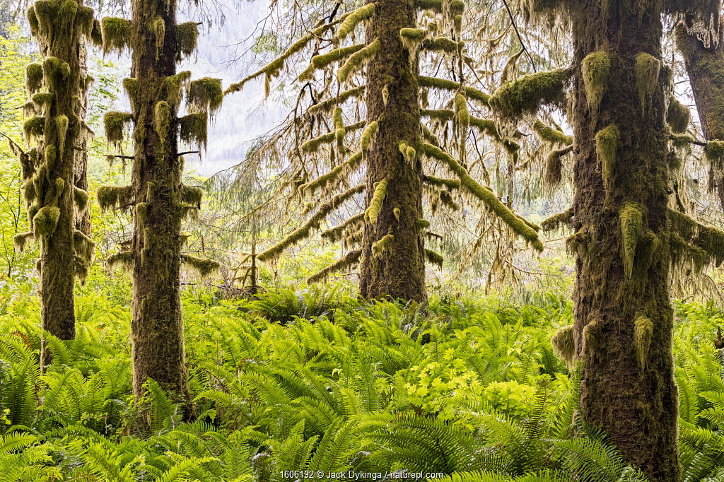 Hoh Rain Forest with moss covered Sitka spruce (Picea sitchenis) trees in morning fog. Olympic National Park, Washington, USA, June.