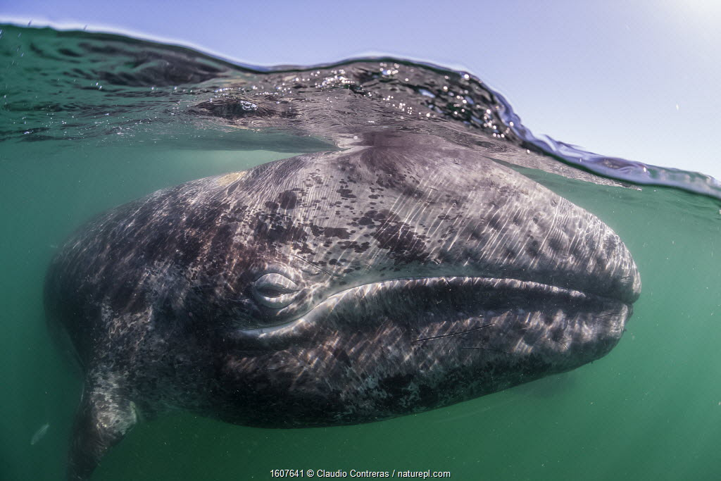 Grey whale (Eschrichtius robustus) calf, San Ignacio Lagoon, El Vizcaino Biosphere Reserve, Baja California, Mexico, February