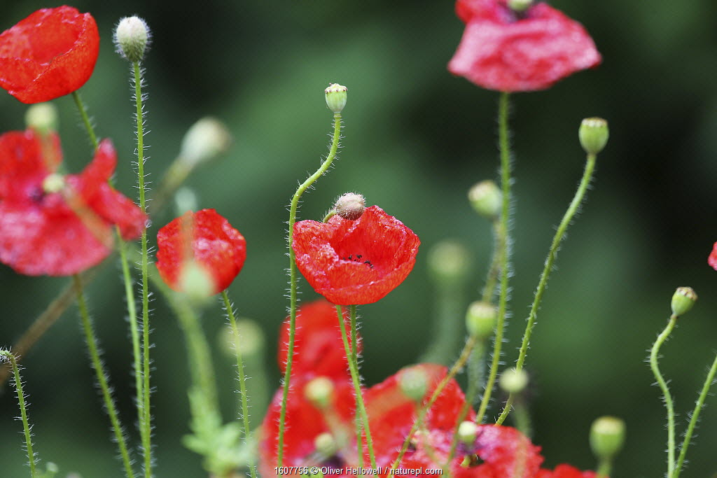 Poppies (Papaver sp) in flower, England, UK, August.