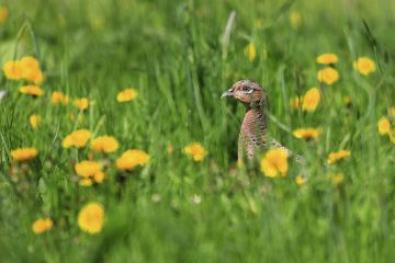 Pheasant (Phasianus colchicus) female in grass with Dandelion flowers, England, UK. May 2018