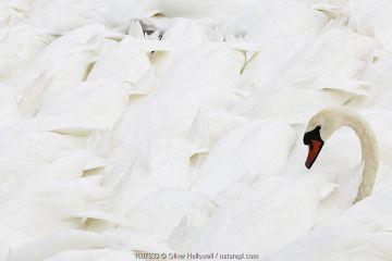 Mute swan (Cygnus olor) among large flock, Abbotsbury Swannery, Dorset. England, UK. August.