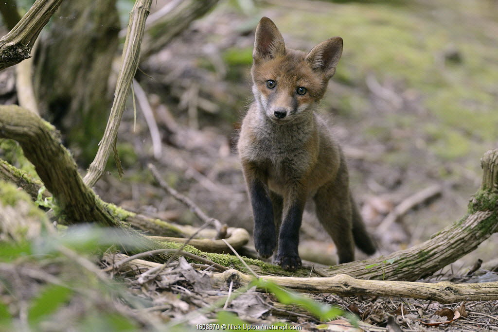 Red fox (Vulpes vulpes) cub exploring woodland. Near Bath, England, UK. May.