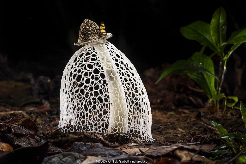 RF - Maiden's veil / Bridal veil fungus (Phallus indusiatus) with indusium fully formed, on rainforest floor. Heath River, Tambopata / Bahuaja-Sonene Reserves, Amazonia, Peru / Bolivia border.