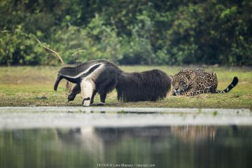 Jaguar (Panthera onca) male watching Giant anteater (Myrmecophaga tridactyla) Pantanal, Brazil.