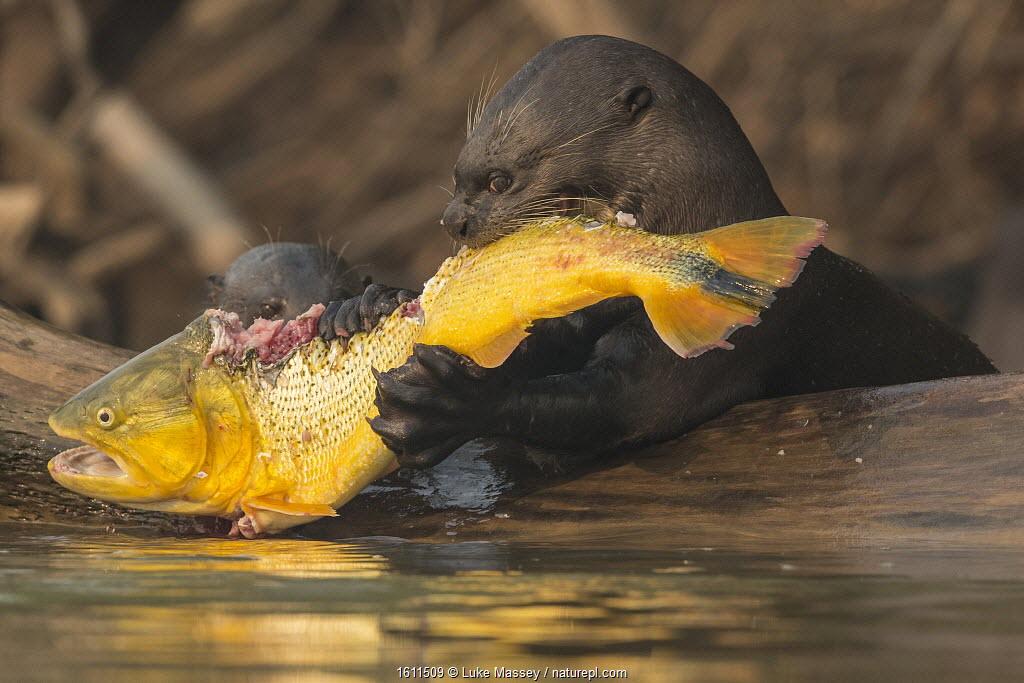 Giant otters (Pteronura brasiliensis) feed on a Golden dorado (Salminus brasiliensis) Pantanal, Brazil.