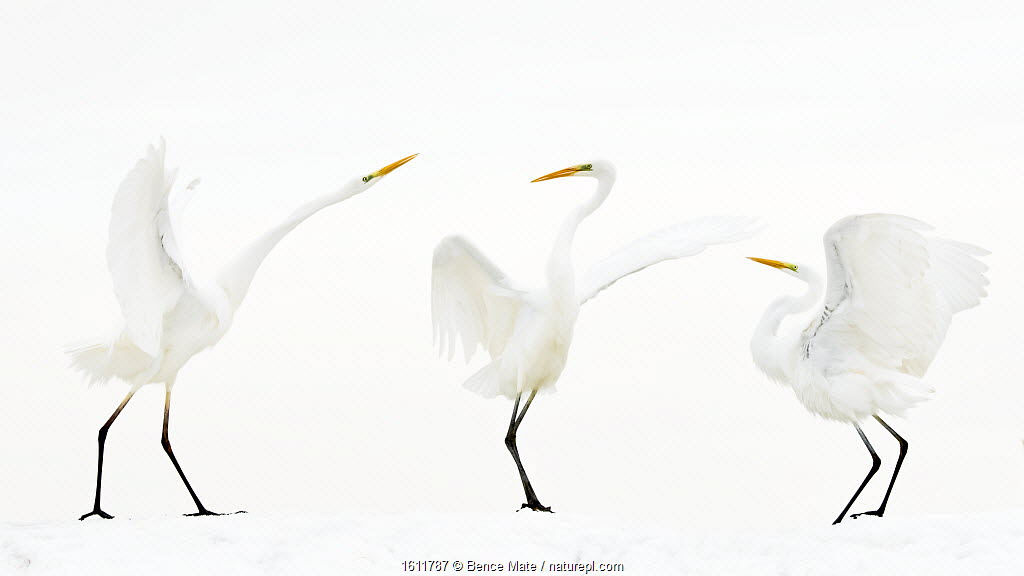 Great white egret (Ardea alba) group of three in winter, Kiskunsag National Park, Hungary.