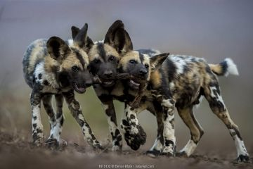 African wild dogs (Lycaon pictus) juveniles playing with the leg of an impala, trying to drag it in three different directions. Mkuze, South Africa.