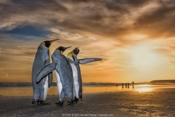 King penguins (Aptenodytes patagonicus) at sunrise. Two males and a female, with the males fighting for the attention of the female. Falklands Islands.