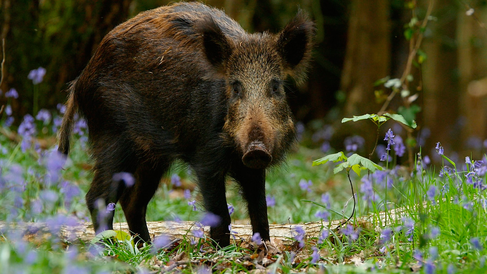 Wild boar (Sus scrofa) feeding, with piglet running nearby, Forest of Dean, Gloucestershire, England, UK, May.