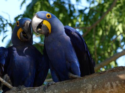 Two Hyacinth macaws (Anodorynchus hyacinthus) in a tree, Pantanal, Mato Grosso do Sul, Brazil.