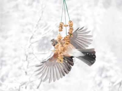 Slow motion clip of a jay (Garrulus glandarius) feeding from a peanut string during a snowstorm, Carmarthenshire, Wales, UK, November.
