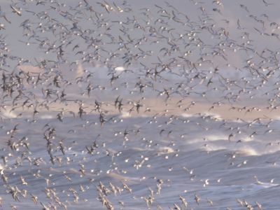 Large mixed flock of Knot (Calidris canutrus), Dunlin (Calidris alpina) and Golden plover (Pluvialis apricaria) in flight at high tide, Steart Marshes WWT Reserve, Somerset, England, UK, January.