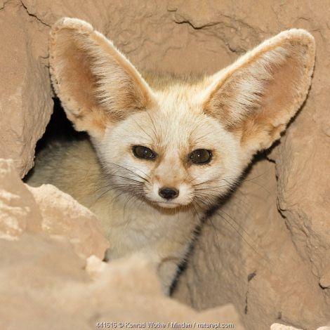 Fennec Fox (Vulpes zerda) looking out of den, Libya