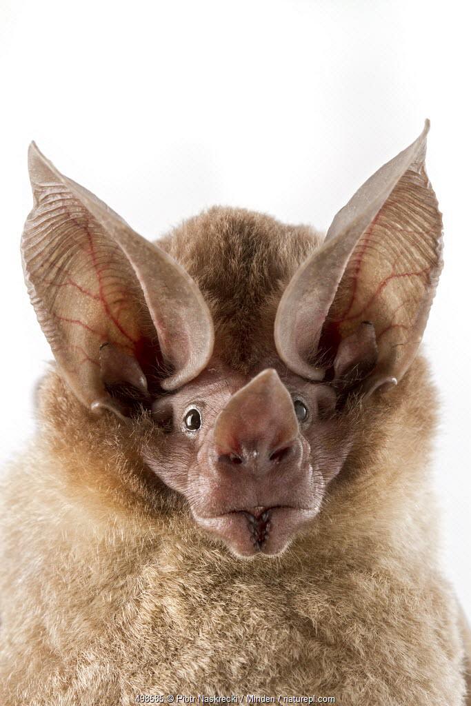 D'orbigny's Round-eared Bat (Lophostoma silvicolum), Suriname