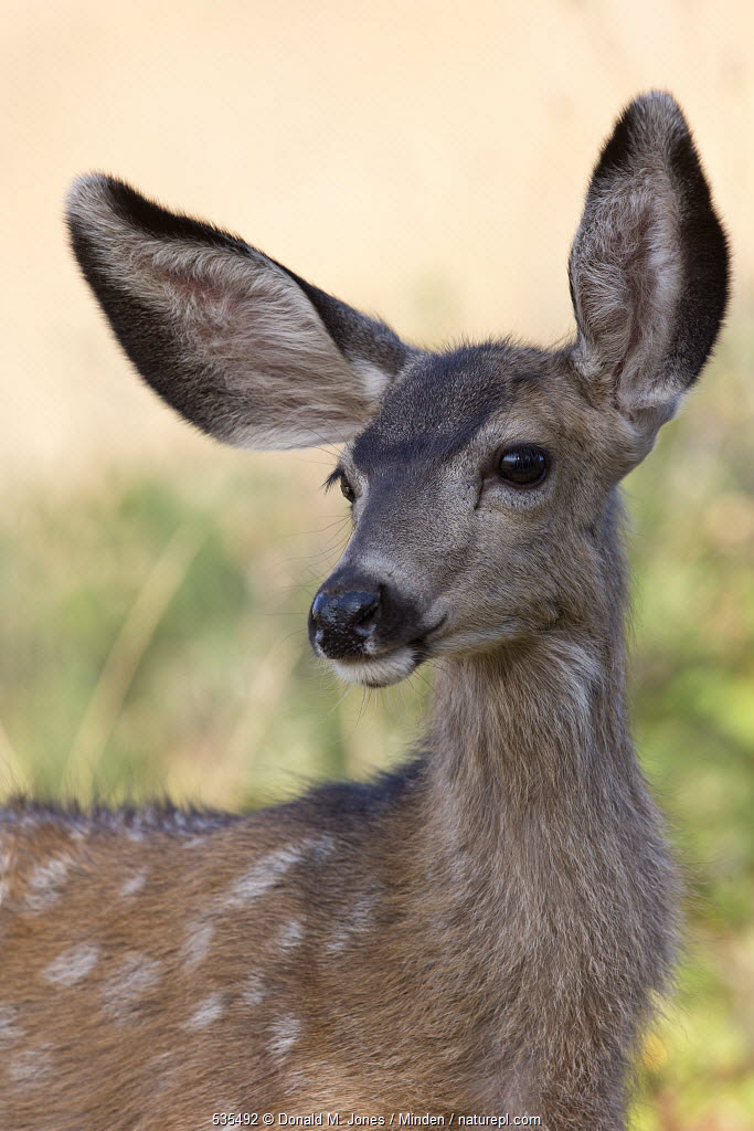 Mule Deer (Odocoileus hemionus) fawn, Montana