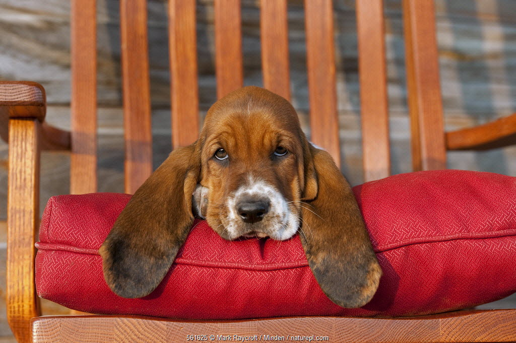 Basset Hound (Canis familiaris) puppy on chair