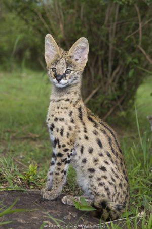 Serval (Leptailurus serval) kitten, twelve week old orphan, Masai Mara Reserve, Kenya