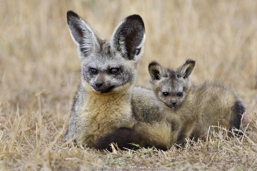 Bat-eared Fox (Otocyon megalotis) parent and pup, Masai Mara, Kenya