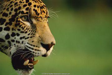 Jaguar profile portrait {Panthera onca}, Pantanal, Brazil.