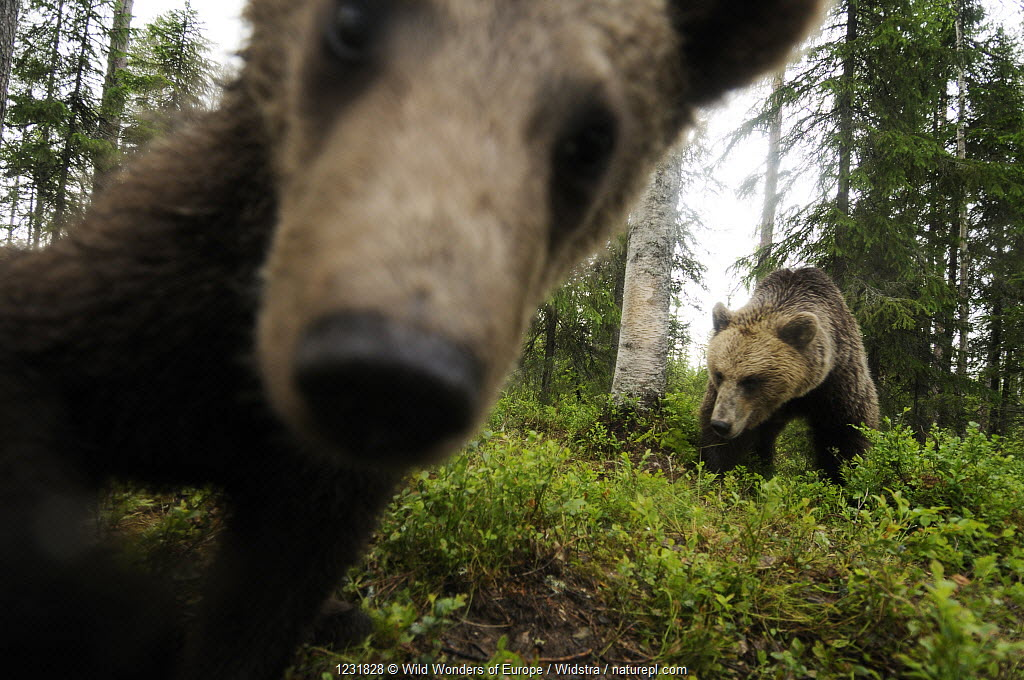 Eurasian brown bear (Ursus arctos) close up of nose while investigates remote camera, Kuhmo, Finland.
