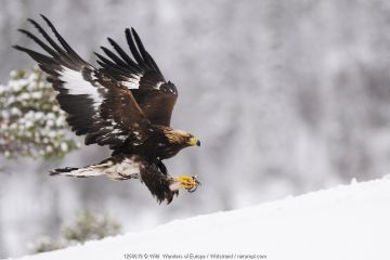Golden eagle (Aquila chrysaetos) landing in snow, Flatanger, Norway.