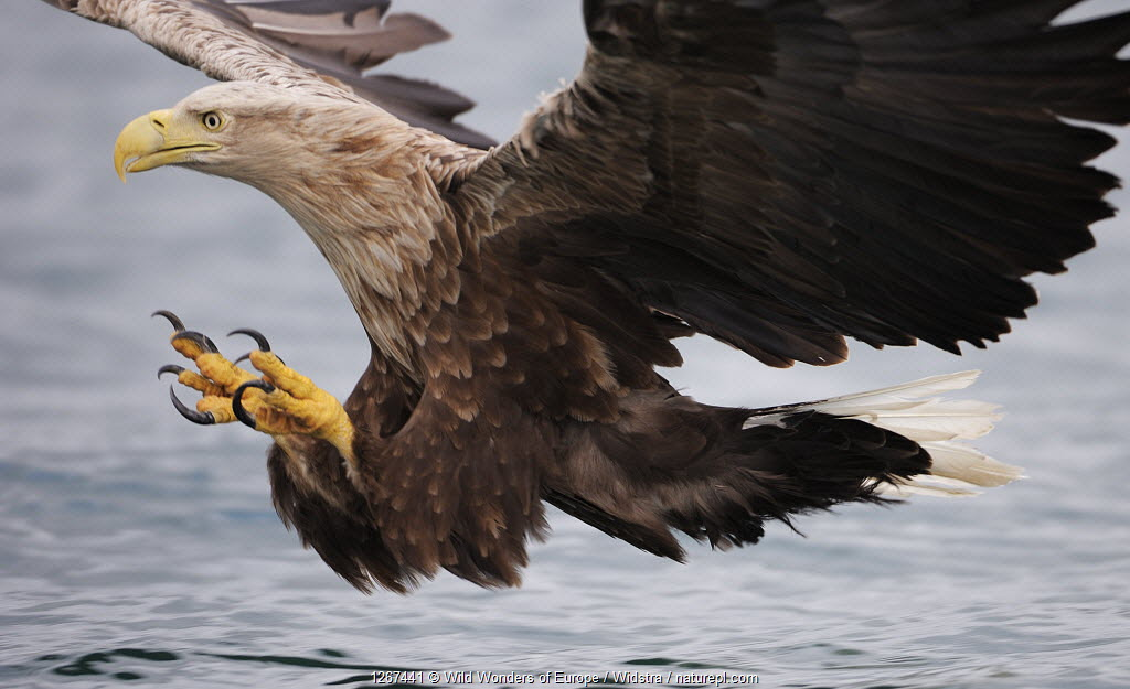 White-tailed sea eagle (Haliaetus albicilla) about to take fish from water, Flatanger, Norway.