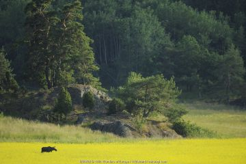 Female European moose (Alces alces) in flowering field, Morko, Sormland, Sweden.