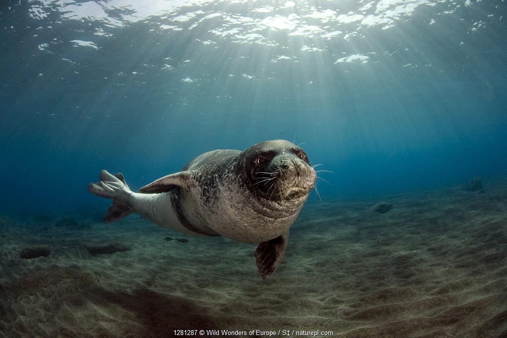 Mediterranean monk seal (Monachus monachus) portrait, Desertas Islands, Madeira.