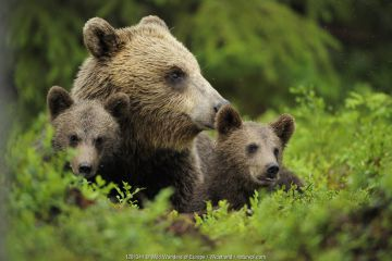 Eurasian brown bear (Ursus arctos) with two cubs, Suomussalmi, Finland
