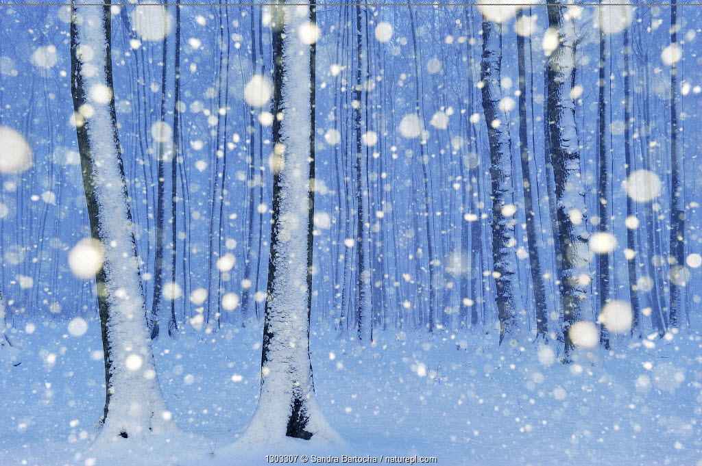 Gespensterwald (ghostly forest) - European Beech forest (Fagus sylvatica) in snow, Nienhagen, Germany.
