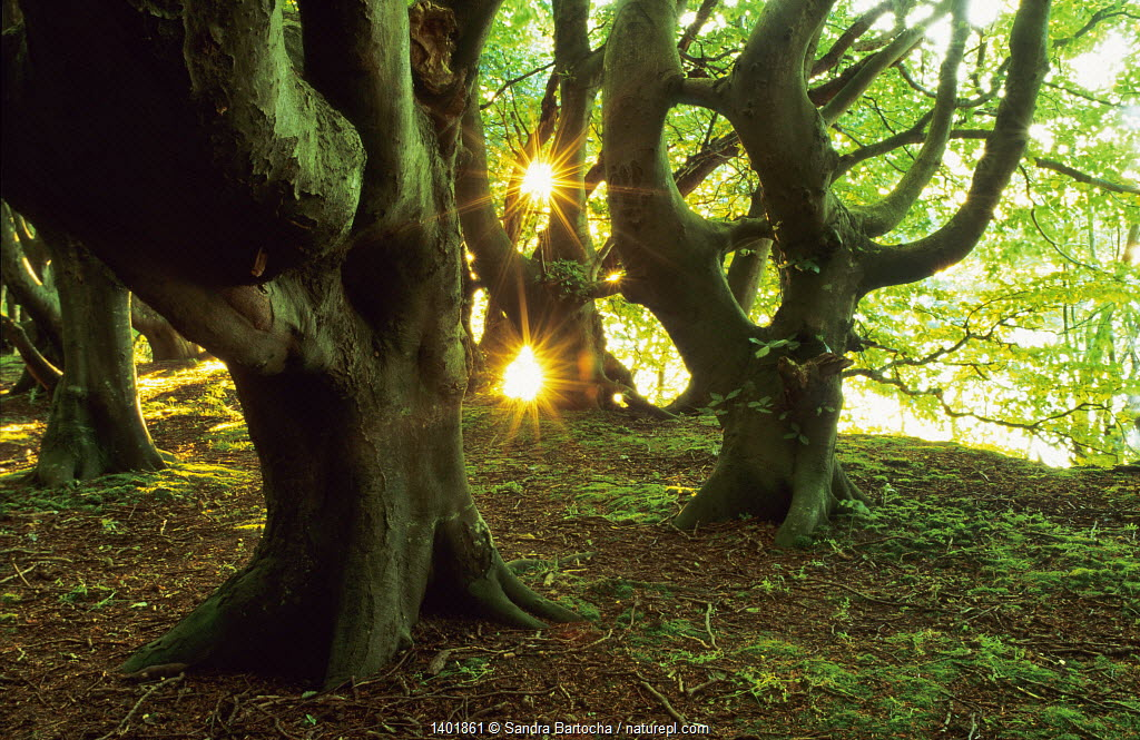 European Beech (Fagus sylvatica) trees, with sunlight shining between branches, Germany, September