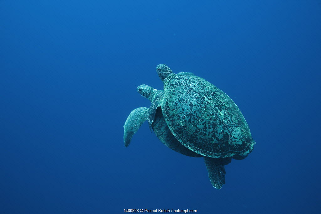Two Green turtles (Chelonia mydas) mating. Raine Island, Great Barrier Reef, Australia.