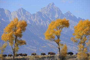American Bison (Bison bison) in habitat, Grand Teton National Park, Wyoming, USA, October.