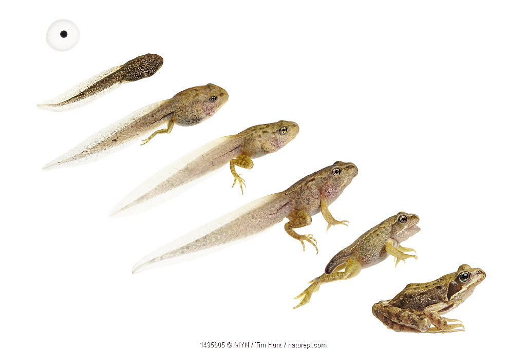 Composite image showing development / life cycle of the common frog (Rana temporaria) from egg to tadpole to adult. Worcestershire, UK, May. meetyourneighbours.net project