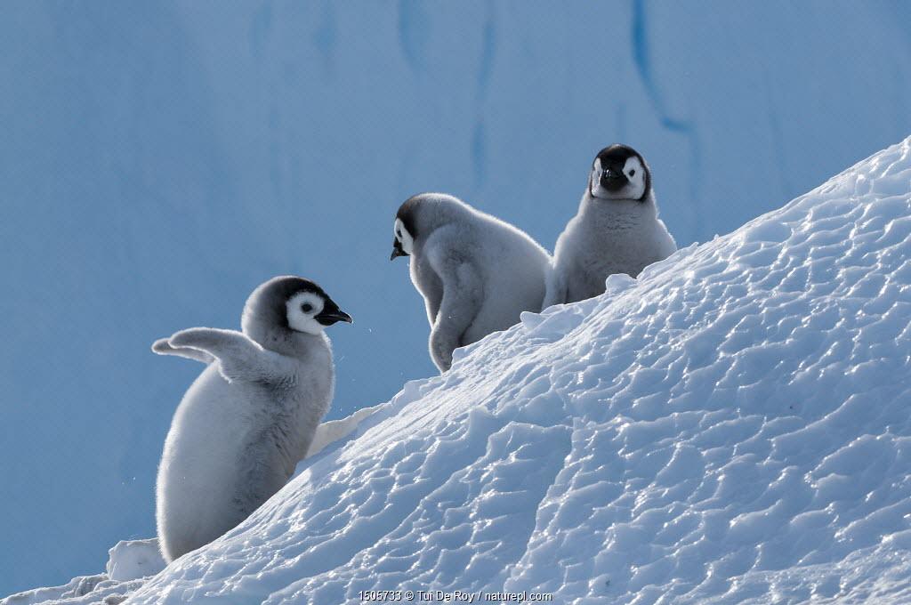 Emperor penguin (Aptenodytes forsteri) chicks, Amanda Bay, Prydz Bay, Ingrid Christensen Coast, East Antarctica, November.