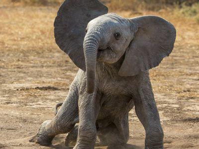African elephant (Loxodonta africana) calf playing, Botswana.