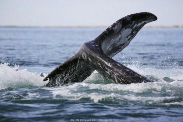 Gray Whale (Eschrichtius robustus) lob-tailing. San Ignacio Lagoon, Baja, Mexico.