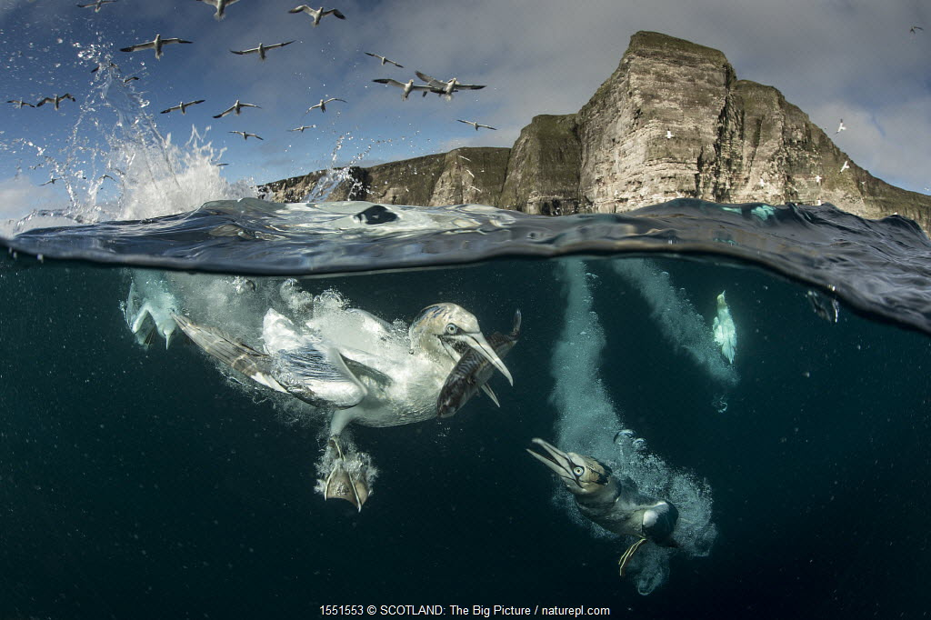 Gannets (Morus bassanus) diving to feed on discarded fish, Shetland, Scotland.