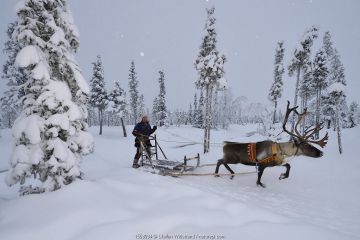 Reindeer sledding in - 25 C, with Nils-Torbjorn Nutti, owner and operator of Nutti Sami Siida, Jukkasjarvi, Lapland, Laponia, Norrbotten county, Sweden.