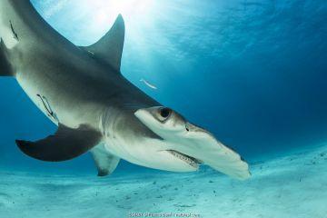 Great hammerhead shark (Sphyrna mokarran) swimming over sandy seabed, South Bimini, Bahamas.