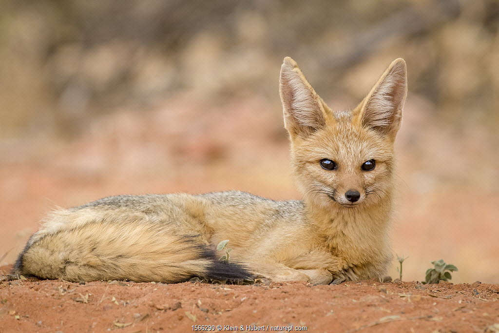 Cape fox (Vulpes chama) female resting on den, South Africa.