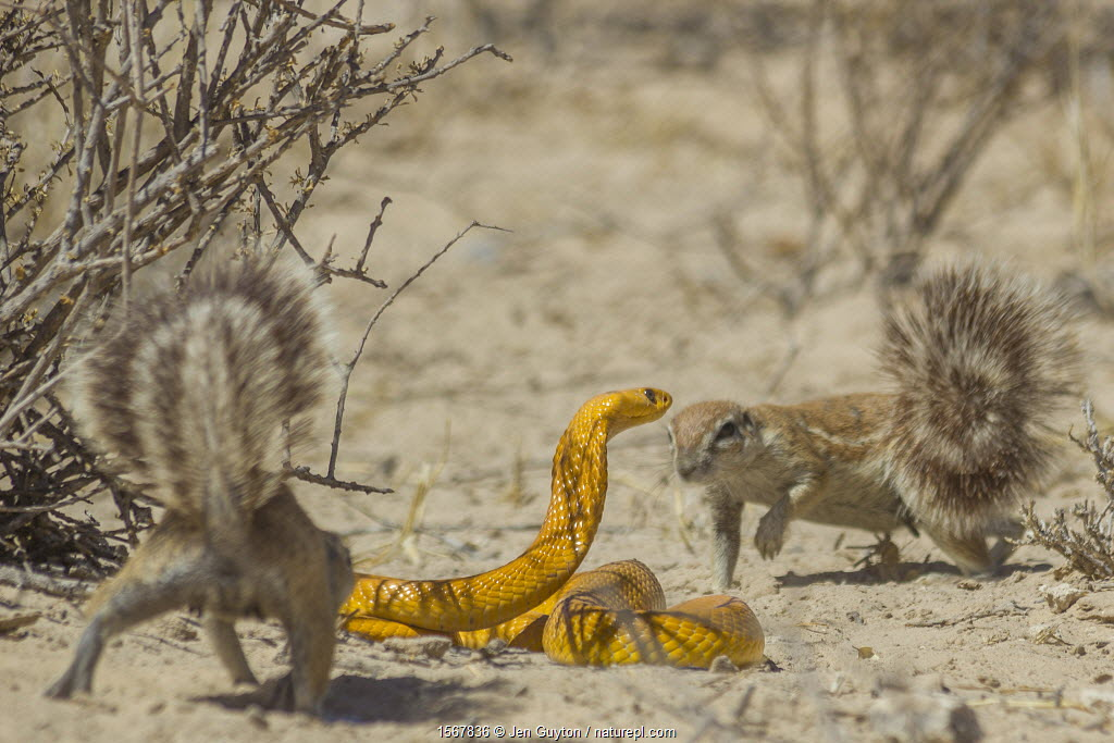Cape ground squirrels (Xerus inauris) mobbing a Cape cobra (Naja nivea) that had come too close to their burrow in the Kalahari Desert, South Africa.