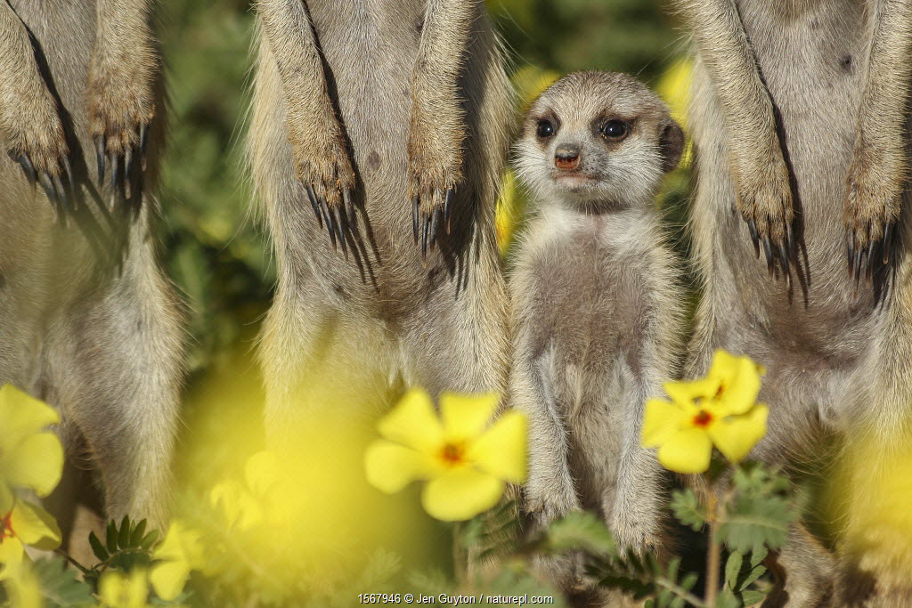 Meerkat pup (Suricata suricatta) standing among its family in a field of Devilthorn flowers (Tribulus zeyheri). Kalahari Desert, South Africa.