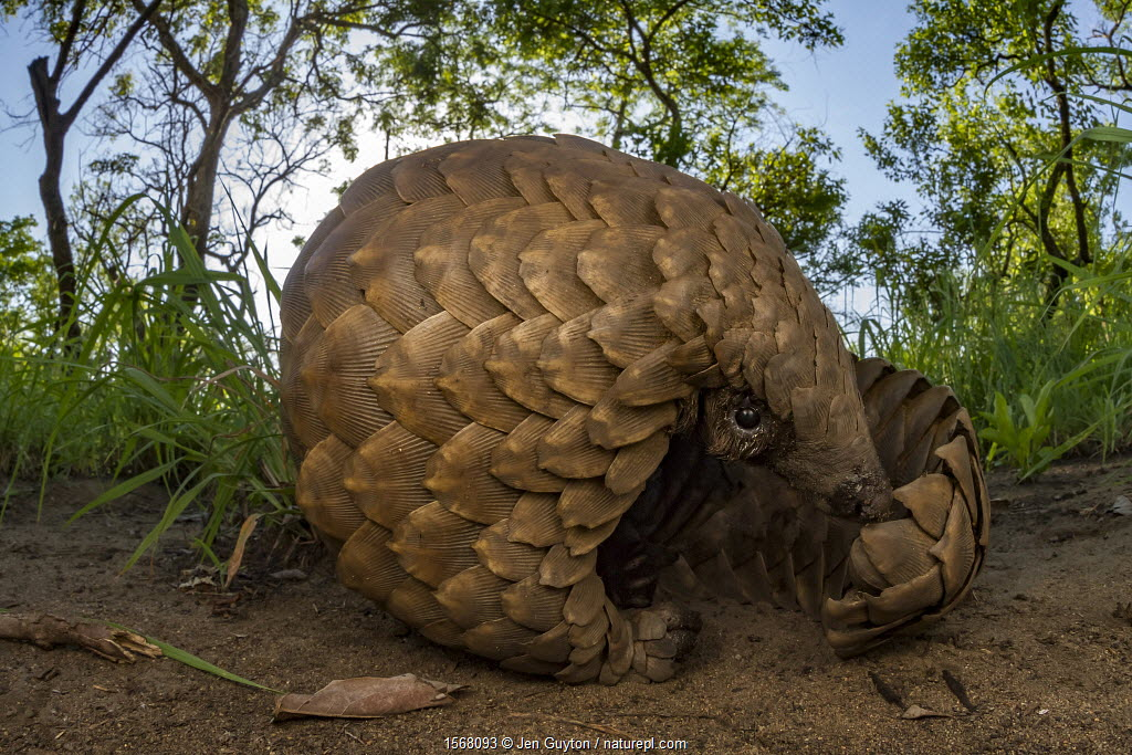 Ground pangolin (Smutsia temminckii) foraging for termites, taken during a biodiversity survey in Gorongosa National Park, Mozambique.