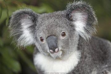 Koala (Phascolarctos cinereus),captive, Queensland, Australia