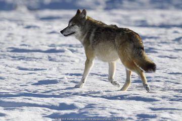 Tibetan wolf (Canis lupus) in snow, Keke Xili, Changtang, Tibetan Plateau, Qinghai, China.