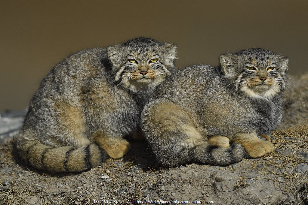 Pallas's cat (Otocolobus manul) two sitting side by side, Tibetan Plateau, Qinghai, China