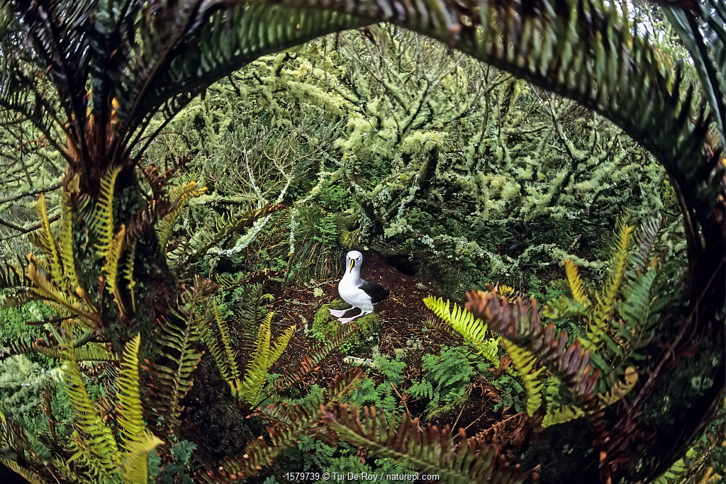 Atlantic yellow-nosed albatross (Thalassarche chlororhynchos). nesting amid Blechnum palmiforme tree ferns. Gough Island, Gough and Inaccessible Islands UNESCO World Heritage Site, South Atlantic.