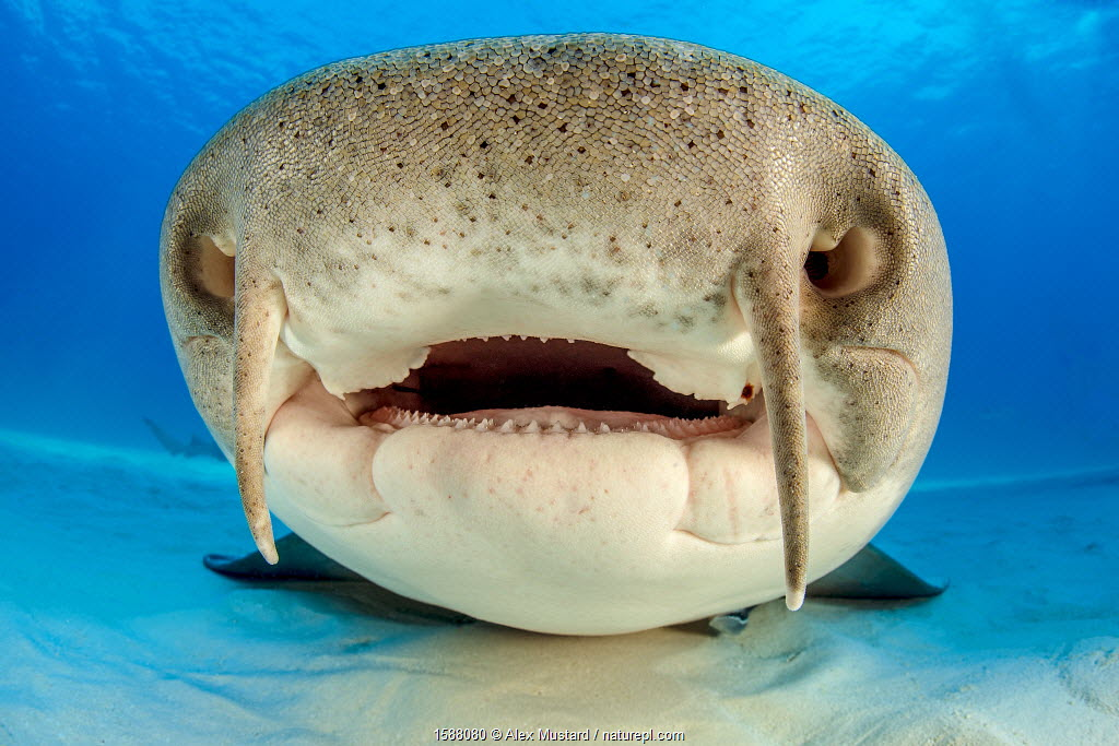 Close up portrait of the face of a Nurse shark (Ginglymostoma cirratum) resting on the sand in shallow water. South Bimini, Bahamas.